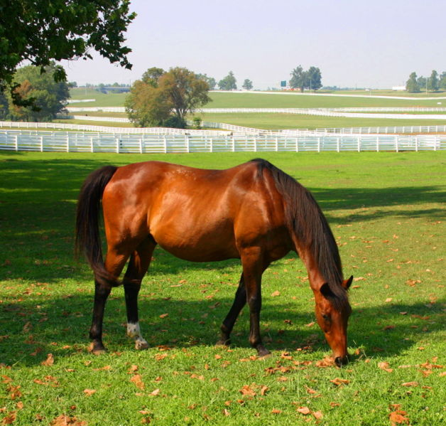 A horse grazes at the Kentucky Horse Park (Wes Blevins)