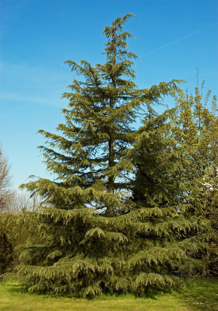 "It's easy to see from this photo why the deodar cedar is referred to as a ""living Christmas tree."""