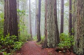 Redwood trees are the tallest living things on earth.