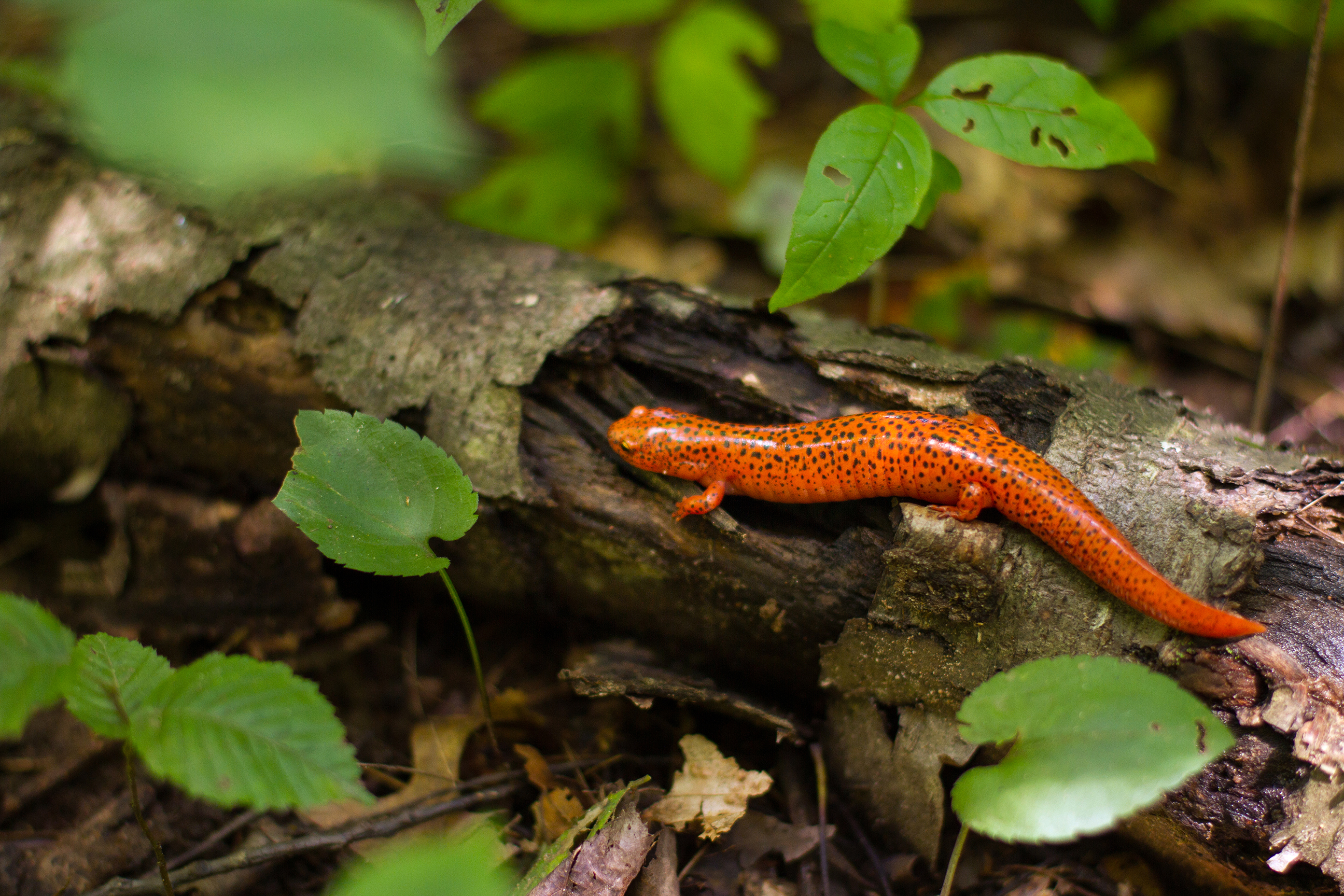 Salamanders are a common find at Powdermill, where water sources and forest habitats are healthy. The red salamander is among the most striking. Photo by Pamela Curtin, PNR
