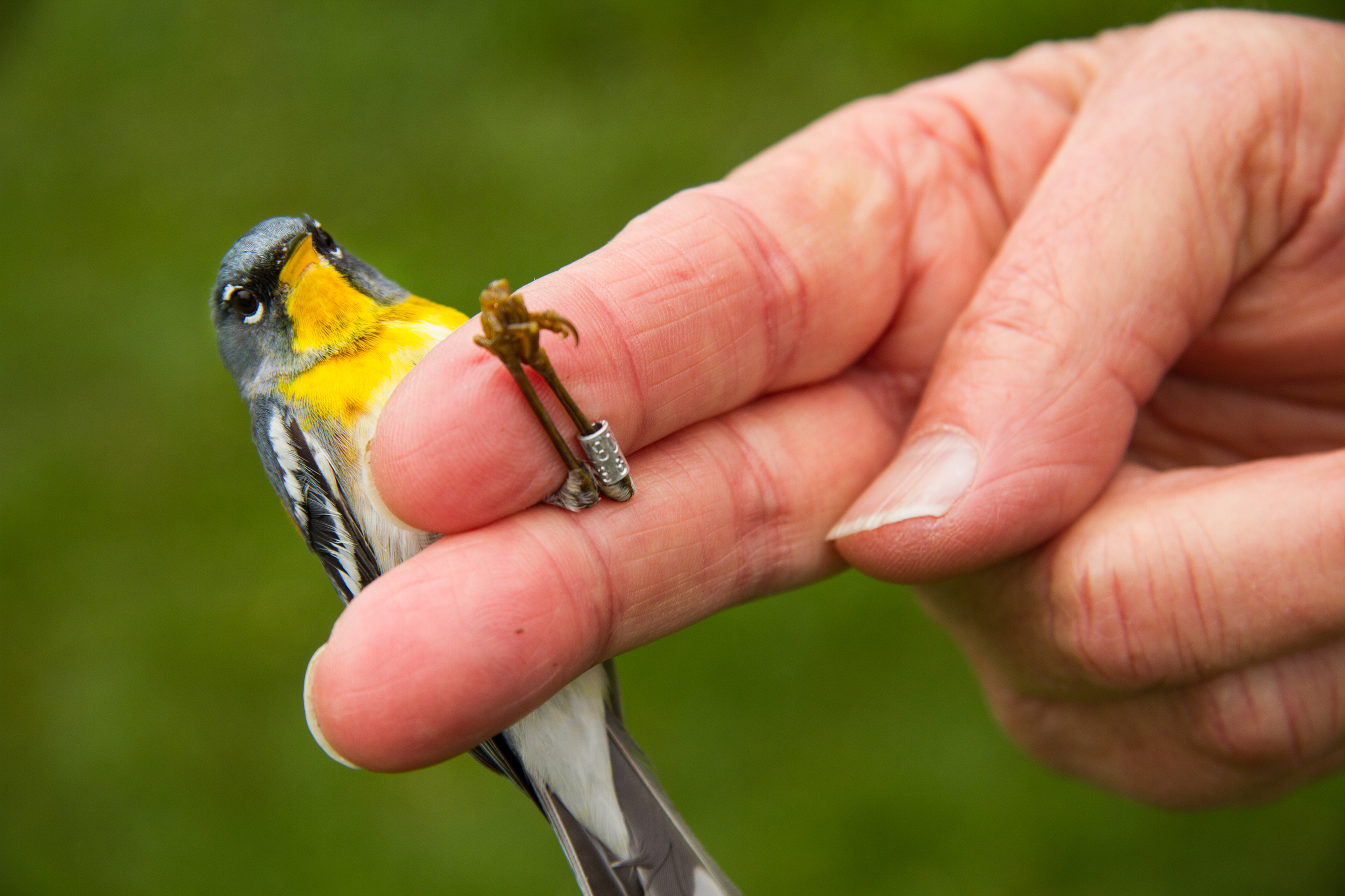 "At Powdermill Avian Research Center, a Northern Parula shows off its new ""jewelry"" - a small metal band with a identifying number. Bird banding data can track migration and changes in bird populations. Photo by Pamela Curtin, PNR"