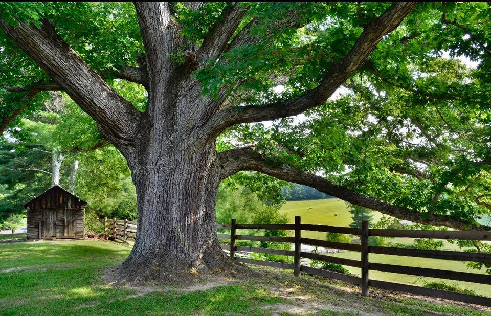 "The massive 800-year-old white oak ""The Oak""."