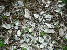Remaning Oyster shells