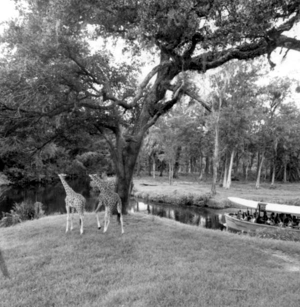 Giraffes that were once in Silver Springs.