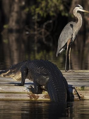 Gators and Blue Herons are some of the wildlife you will see in Tosohatchee State Reserve.
