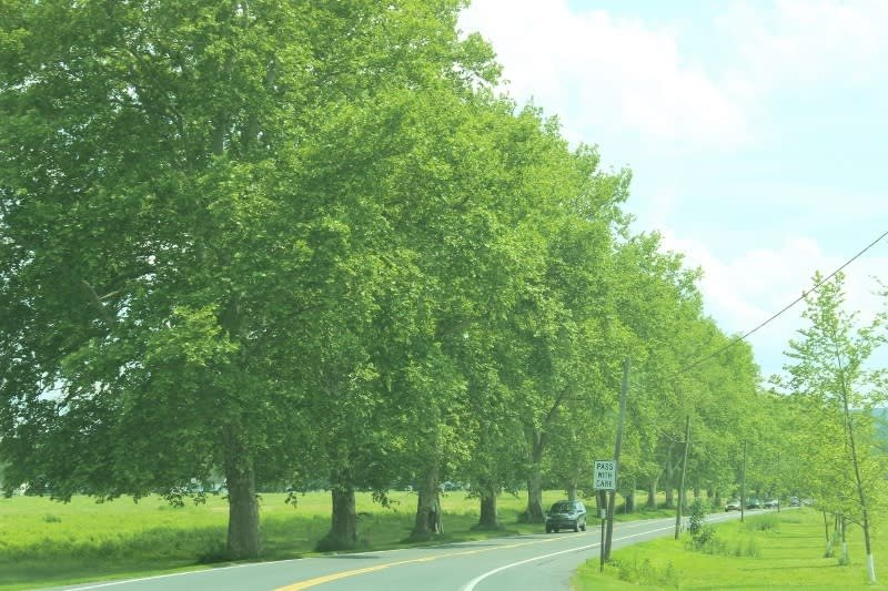 The northern section of Sycamore Allee.  Notice that the sycamores are only along one side of the road.