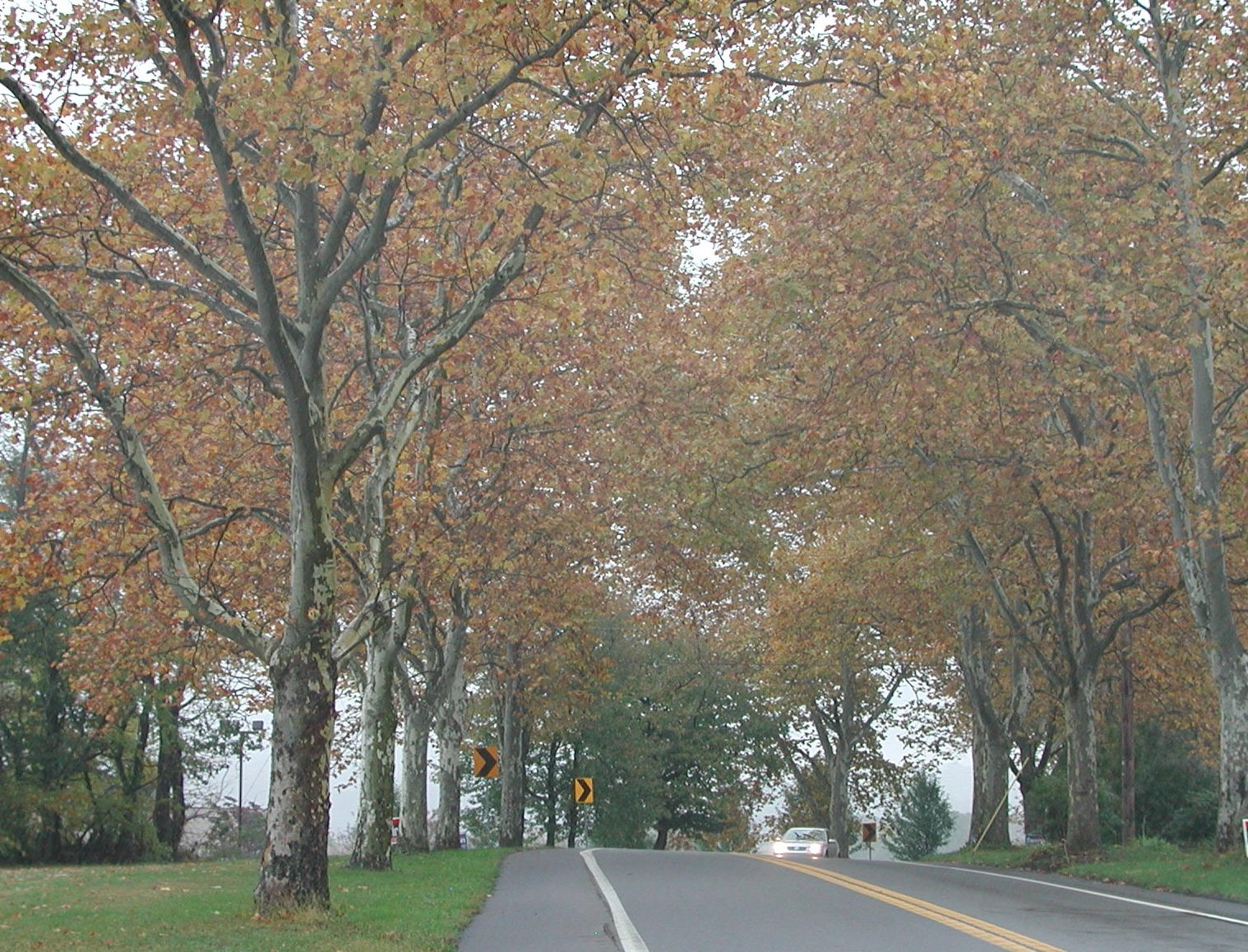 Sycamore Allee in the fall.