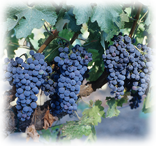 "In 1989, genetic testing revealed that the grapes used to make the Coppolas' ""Rubicon"" wine were genetically the same as those from original vines imported from Europe by Niebaum in the 1880s."