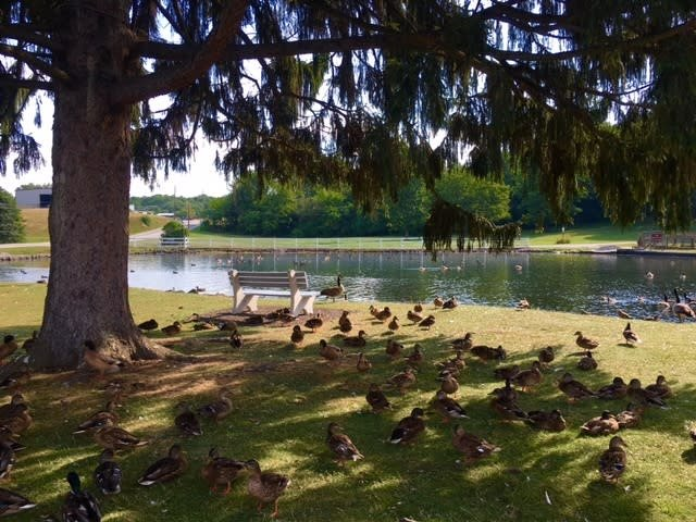 The resident ducks take a break under the shade of a pine tree.