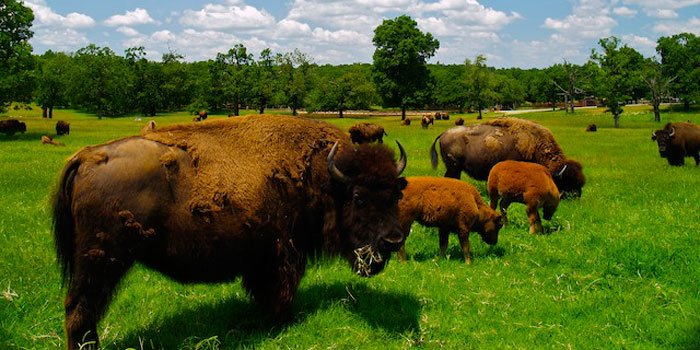 American Bison on the Woolaroc Preserve (image from the Woolaroc Museum and Wildlife Preserve)
