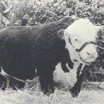 "Edward Frisbie's prize-winning bull, which he named "" President Mischief """