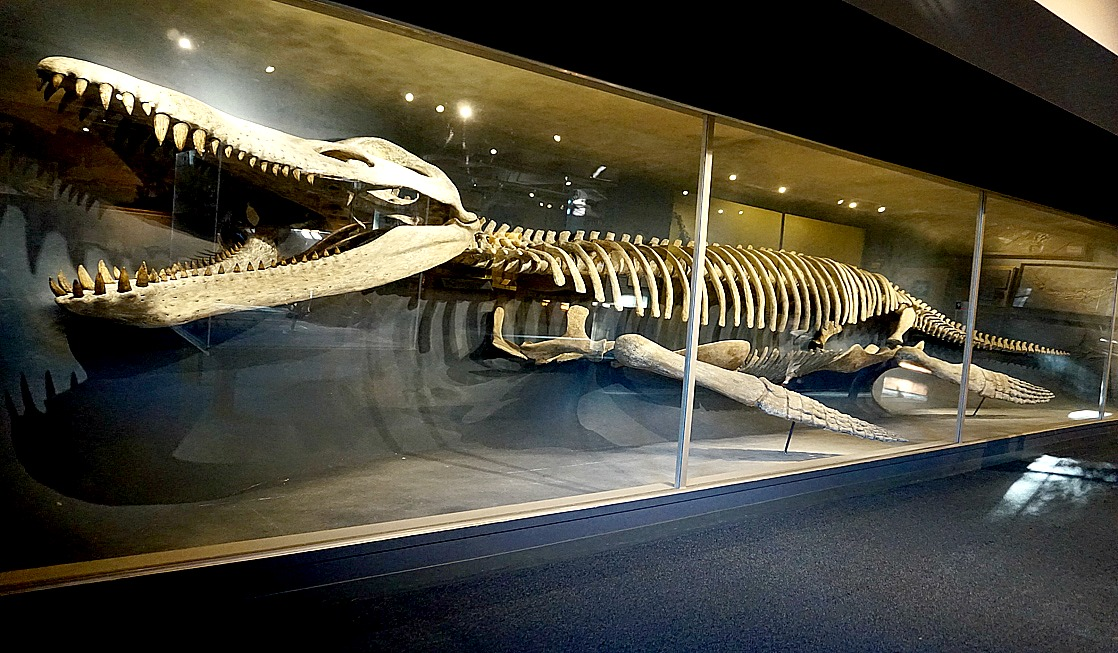 A 42-foot-long skeleton of a Kronosaurus on display at the Harvard Museum of Natural History – photo by Yvonne Jasinski