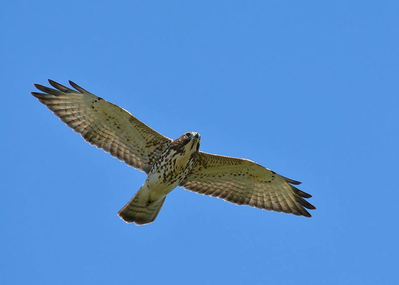 Several species of birds of prey have been spotted during migration periods on the mountain