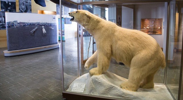 A polar bear on display at the Heritage Center. Credit: Radford University
