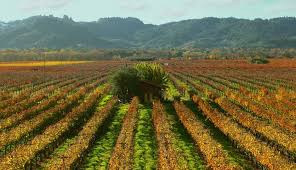 Pictured is the vineyards that cover over 10,000 square feet.