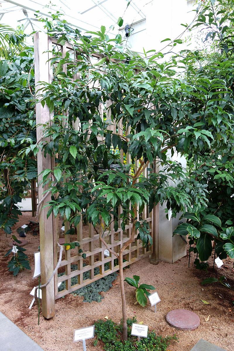 Kumquat tree in the conservatory