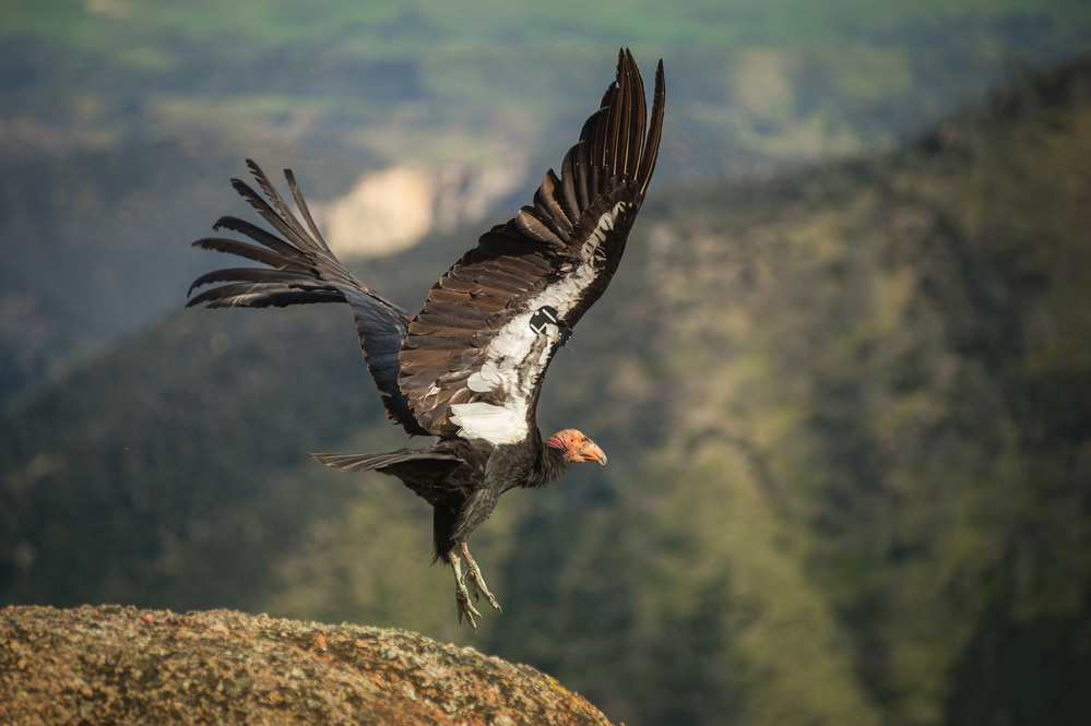 A California Condor begins to fly. There are only a few hundred condors in the wild today.