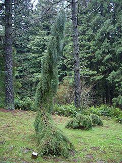 Weeping Sequoia, Hoyt Arboretum