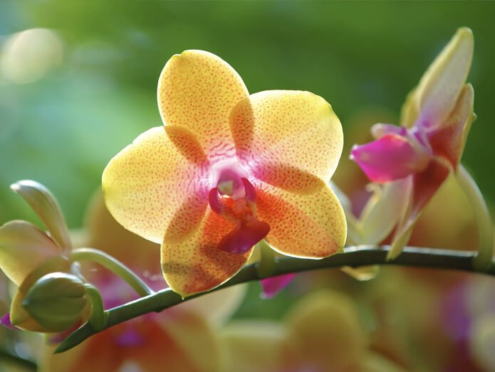 An orchid at the conservatory