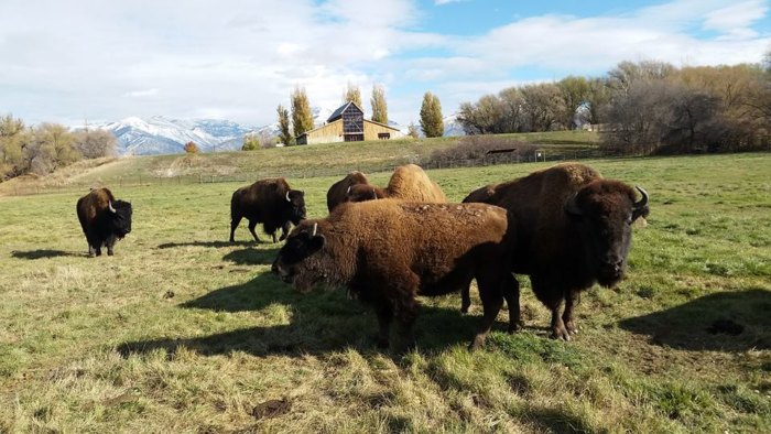 Bison at the American West Heritage Center
