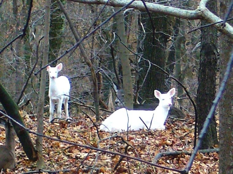 Snowflake and Flurry. Grand Vue Park's albino deer that resided in the park from during the 2010s. (Photo courtesy of Rick Vargo)