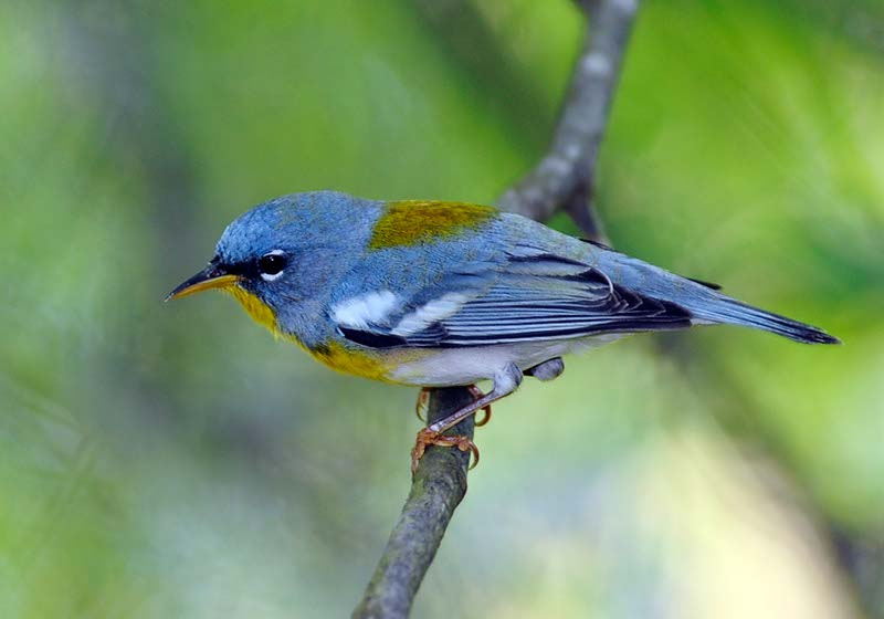 Northern Parula. Photo courtesy Paul Franklin