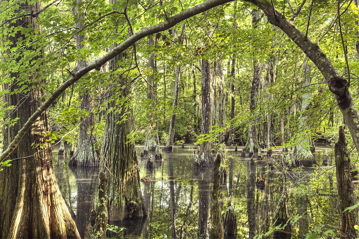 Bald Cyprus swamp in First Landing State Park.