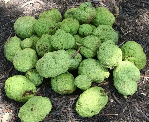 "Osage Orange's ""Green Brain Fruit"""