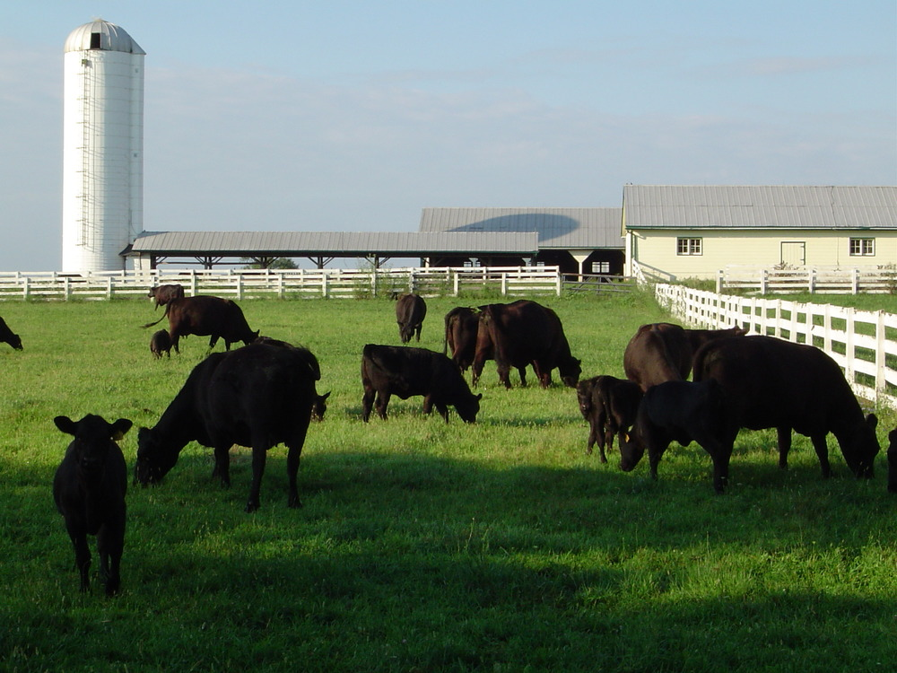 Black Angus Cattle roaming in Pasture on Farm #2