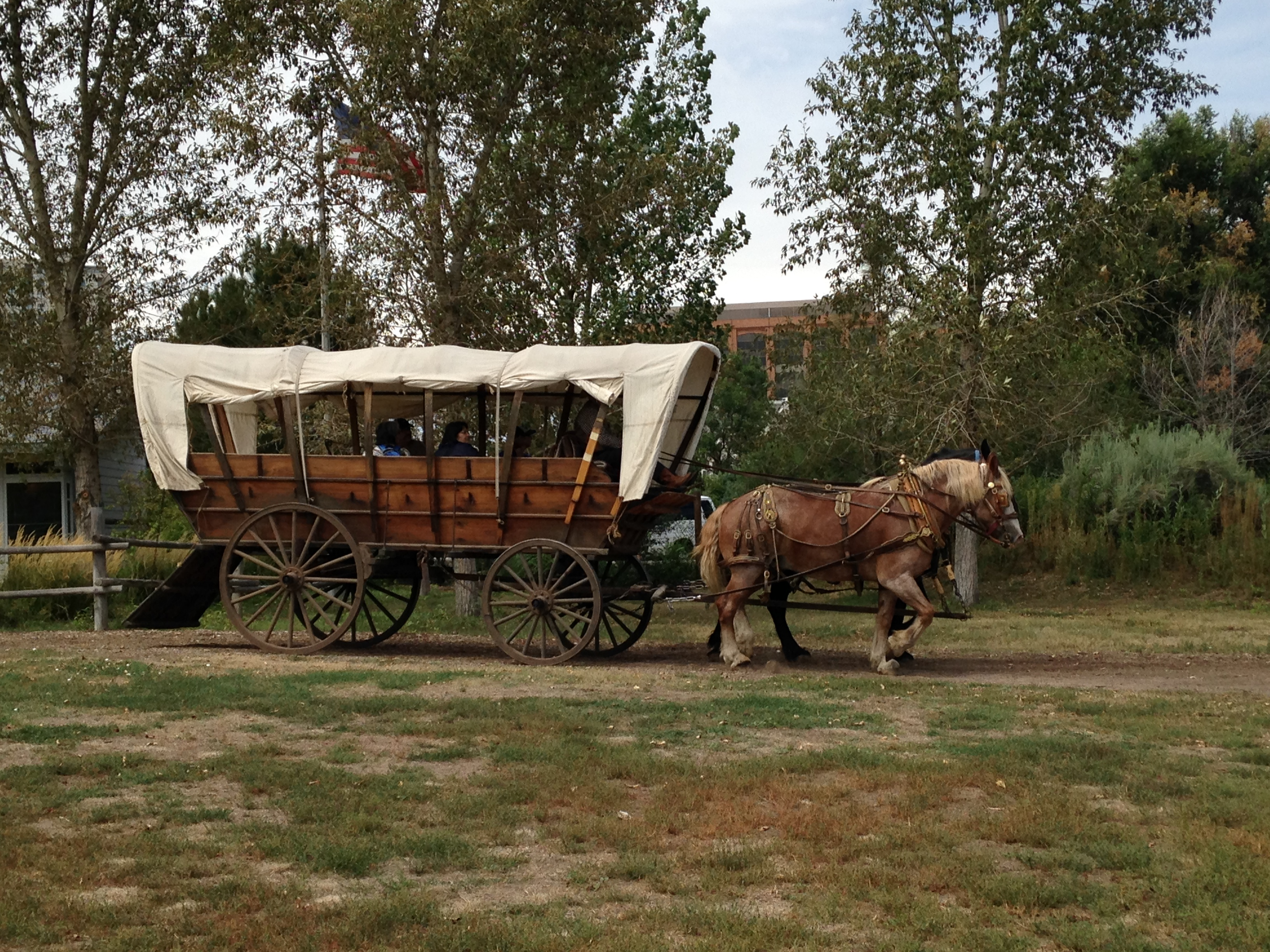 Two of Four Mile's old horses, Barney and Thomas, pulling the Prairie Schooner