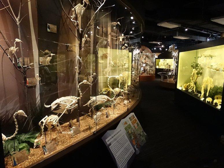 Bird skeletons. Credit: Skeletons: Museum of Osteology