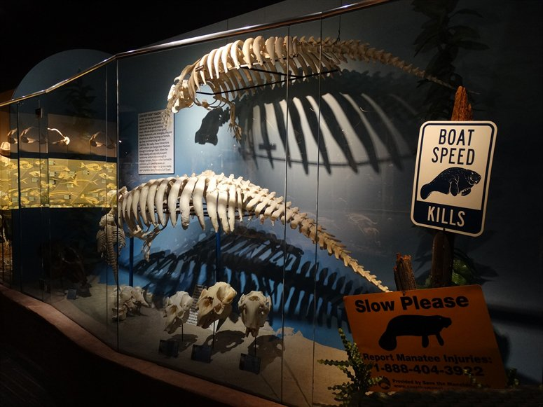Manatee crossing diorama with bones. Credit: Skeletons: Museum of Osteology