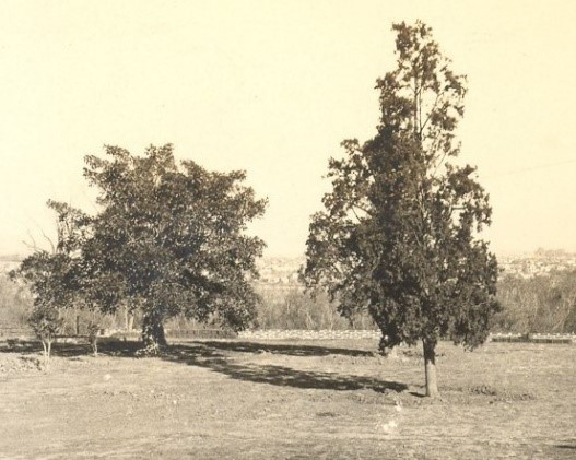 Moreton Bay Fig (left) & Italian Cypress (right), circa 1932