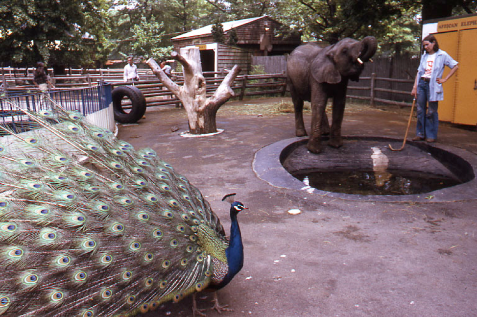 This historic photo from 1975 features a zookeeper inside the animal exhibit with a peacock and elephant, one of the zoo's most popular animals. (Peter H. Dreyer slide collection, Collection #9800.007, City of Boston Archives, Boston)