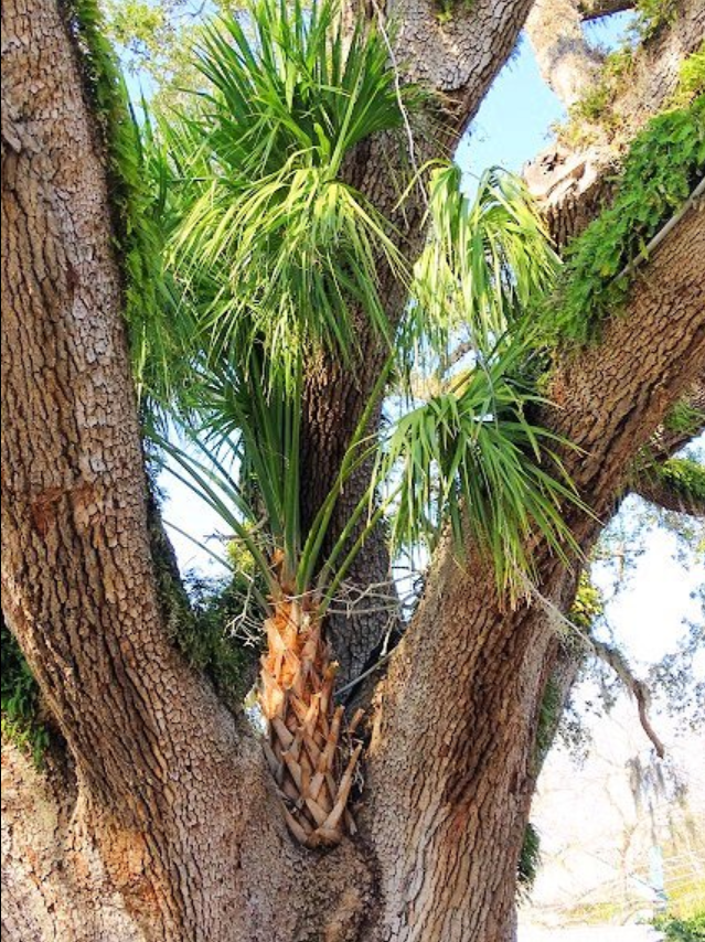 Palm tree growing in a crook of Old Senator. Credit: Cheryl H., TripAdvisor