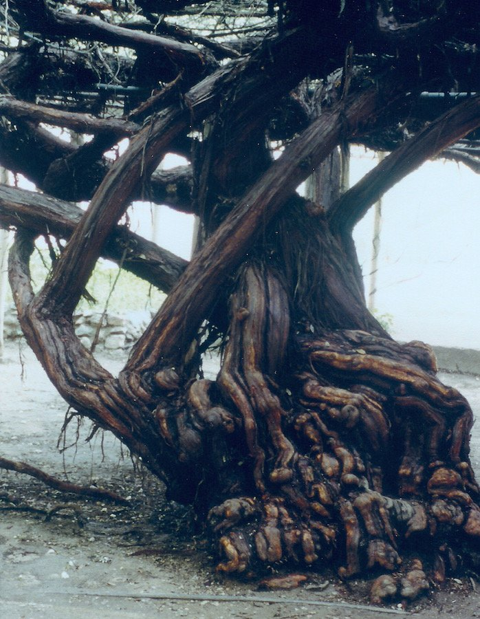 This is a photo of the World's Largest Rose Tree's trunk. The trunk is 14 feet.