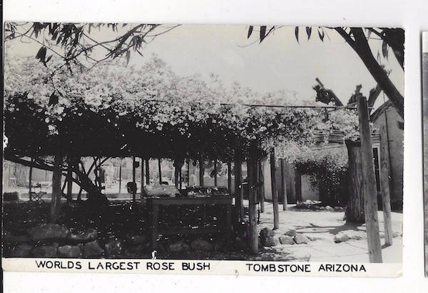 This is Tombstone's postcard featuring the rose tree in the 1940s.