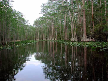 A swamp is an area of land covered in still or slow-moving water, with plants growing in and around it.
