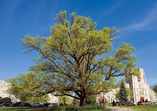 Alwood Oak by John McCormick (image reproduced under Fair Use).