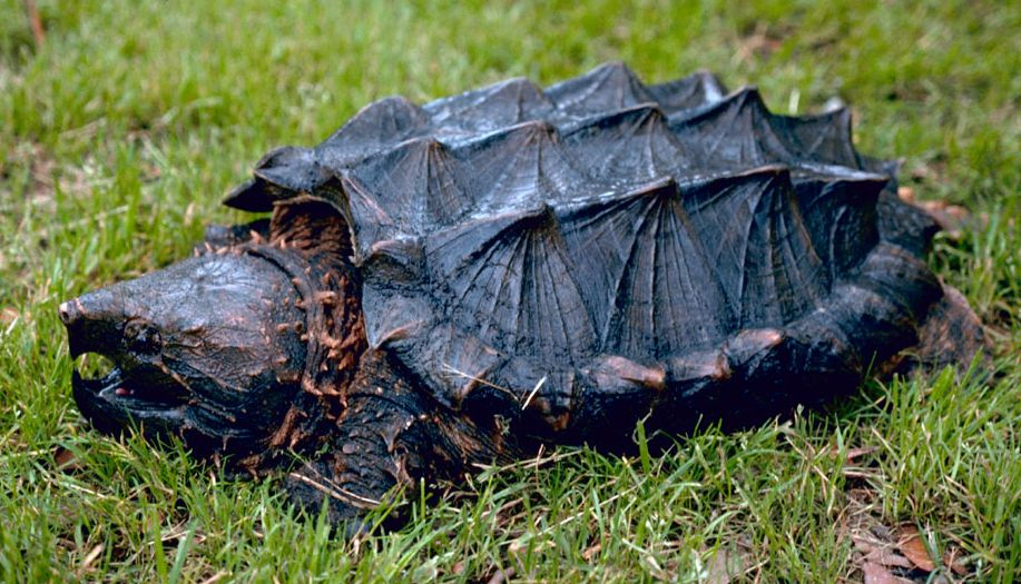 An alligator snapping turtle.