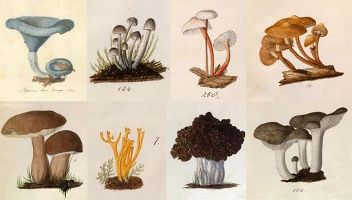 A few of von Schweinitz's watercolors of various fungi.