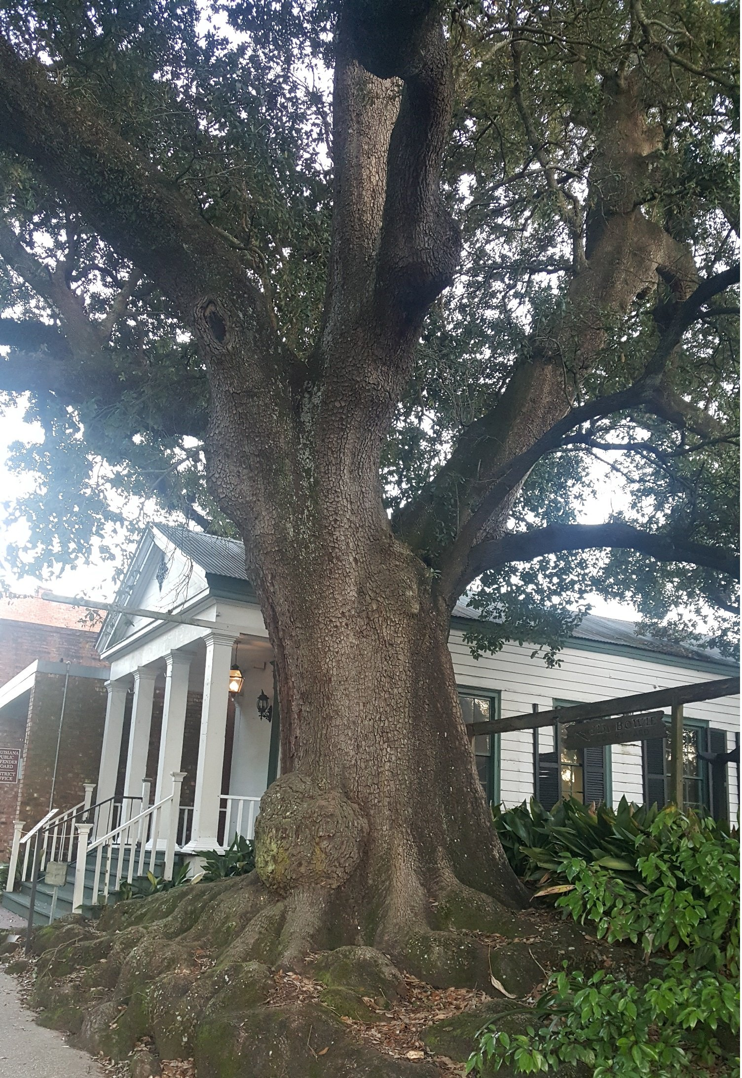 """Wider shot of the tree, featuring the former """"Jim Bowie House""""."""