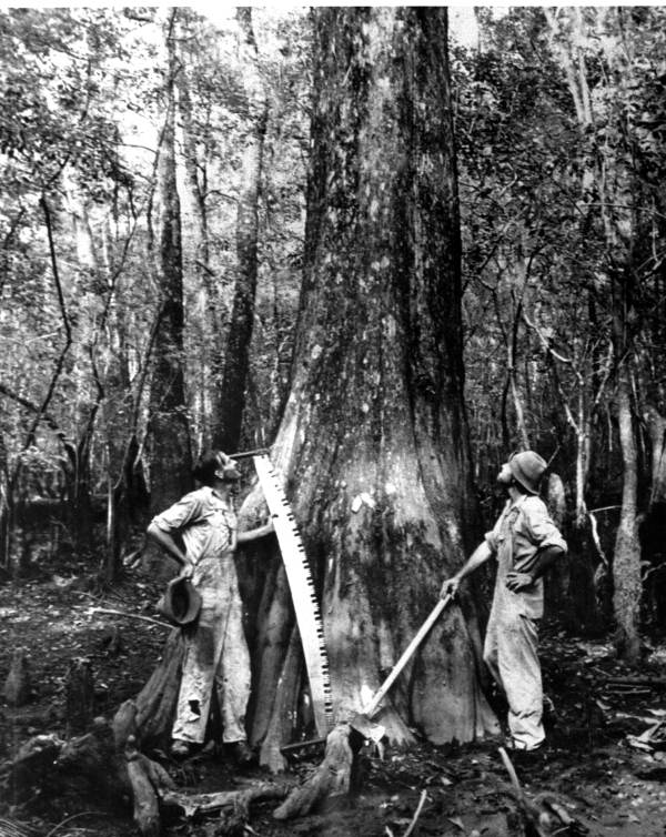 Lumbermen with cypress tree prior to felling (ca. 1910)