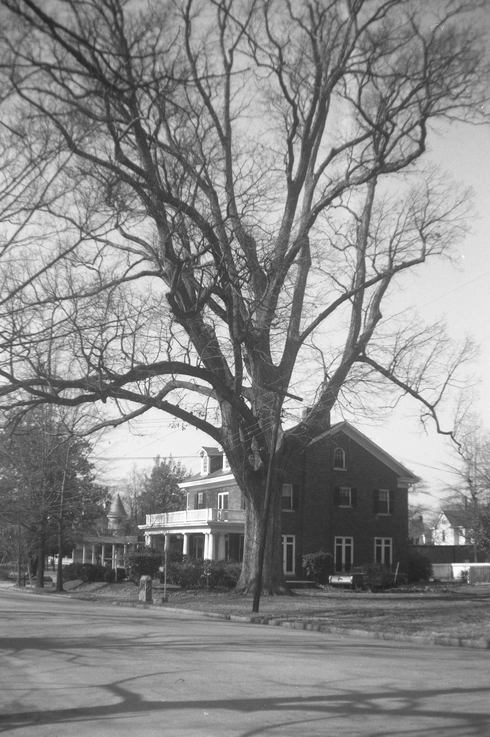 The Henry Clay Oak in 1967.