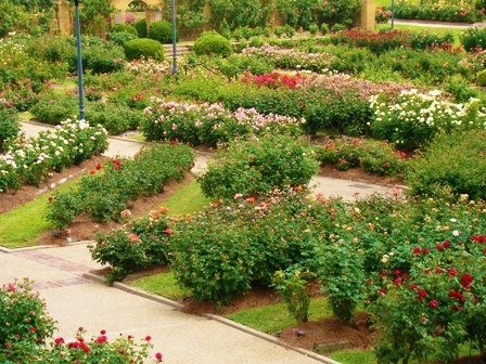 Here are thousands of rose bushes in the Tyler Rose Museum. The garden also has several beautiful fountains that are around the roses where people are welcome to come and enjoy the garden at no charge.