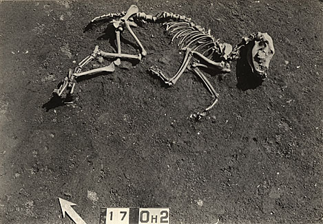 Canine Burial at Indian Knoll.