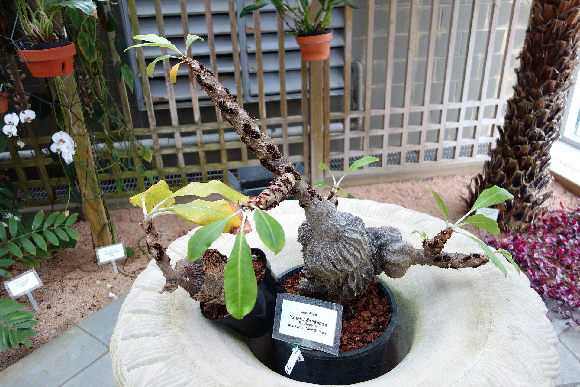 Ant Plant, Myrmecodia tuberosa