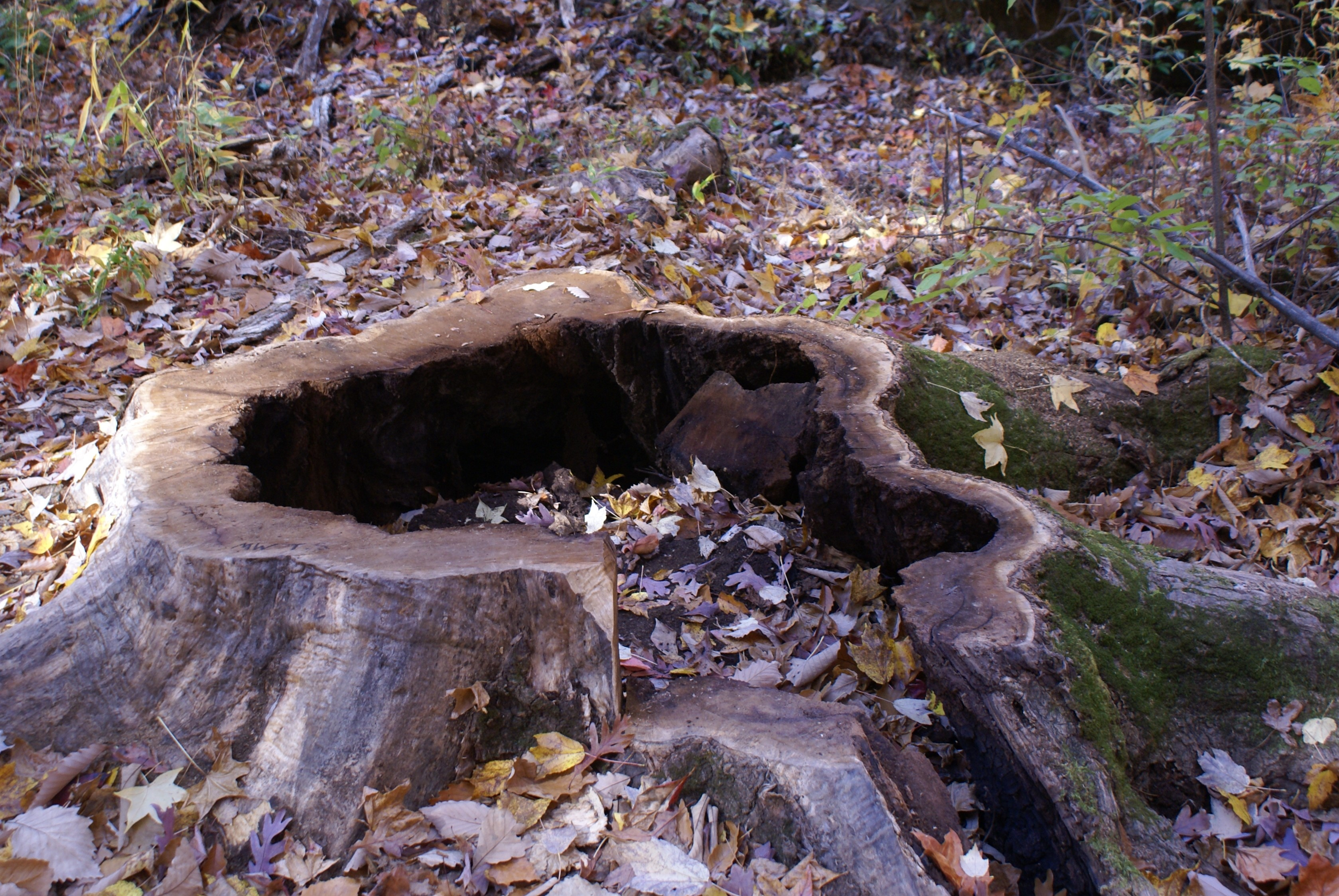 Picture of stump taken the year it was cut down.  Photo courtesy of Kings Mountain National Military Park.