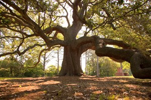 The Emancipation Oak tree as it stands in its 100-foot diameter. This photo was courtesy of the Virginia is for Lovers website.