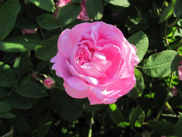 The Elegant Gallica Rose